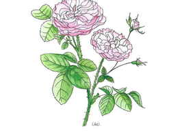 Carte Rose - Amour